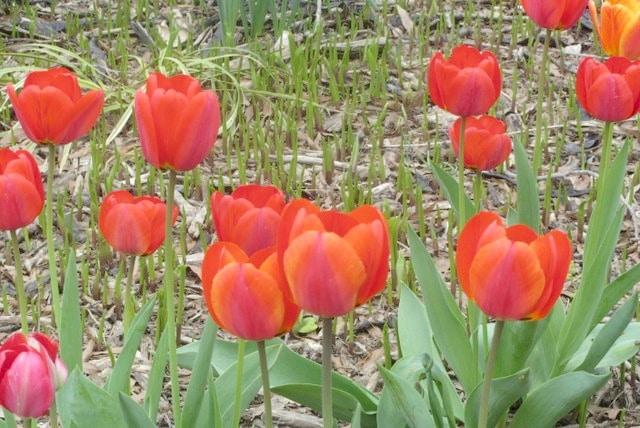 Tulips www.inhabitedkitchen.com