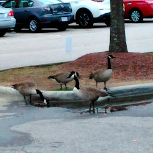 Geese in a parking lot